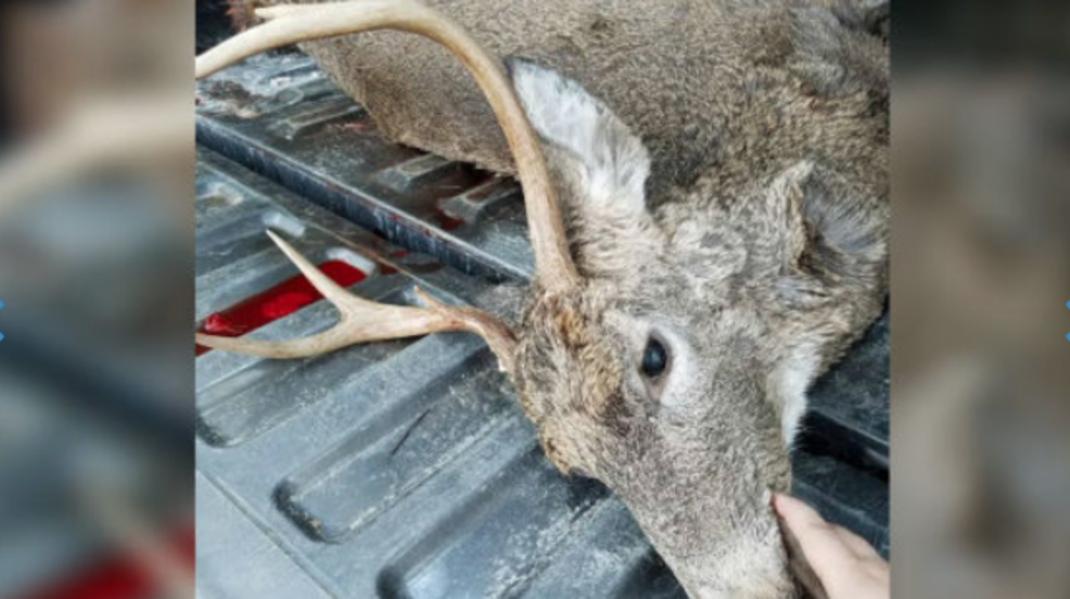Hunter in Levant says she saw a mountain lion, then shot a