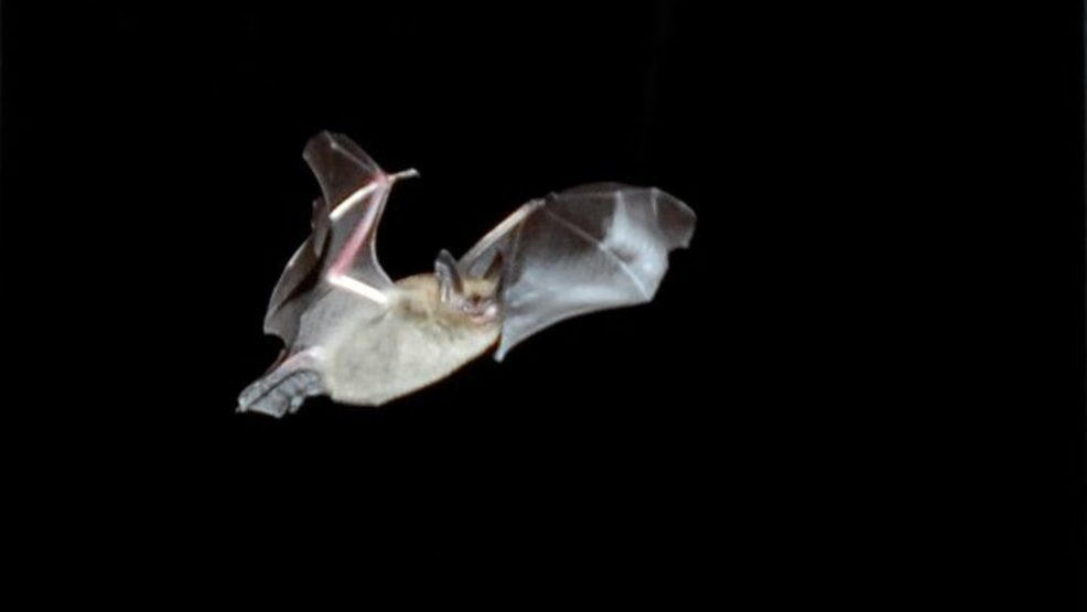A Brown Bat Drops In Through An Open Door And Flies Around The Screened Porch Last Summer At Rusty Metal Farm Julia Bayly Bdn
