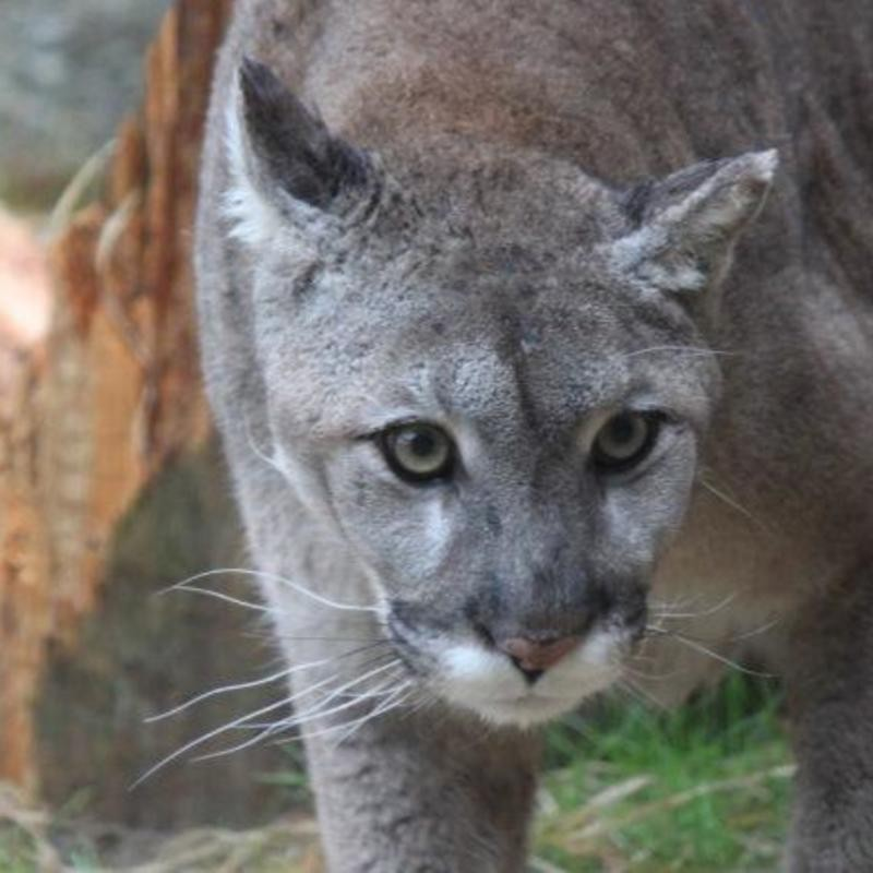 Mainers Seem Certain That Mountain Lions Are Here And Share Their Stories Wgme